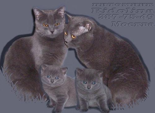 Питомник британских кошек