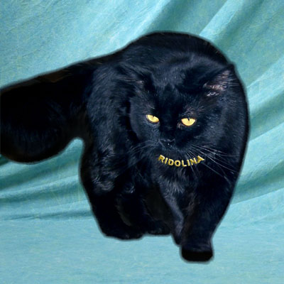 british longhair cat of black color  Charles Ridolina