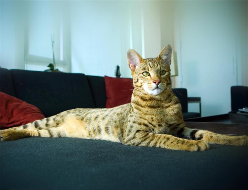 Hybrids of Leptailurus serval serval and Felis catus