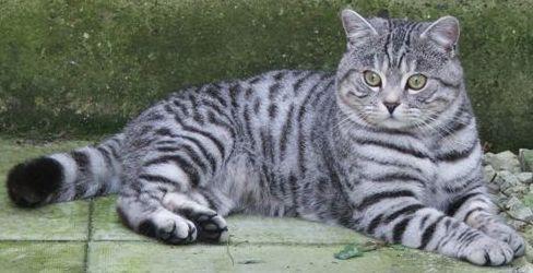 Же британские коты вислоухие характеристики непонятных.